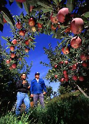 From the the apple orchard direct to you, no middle men!