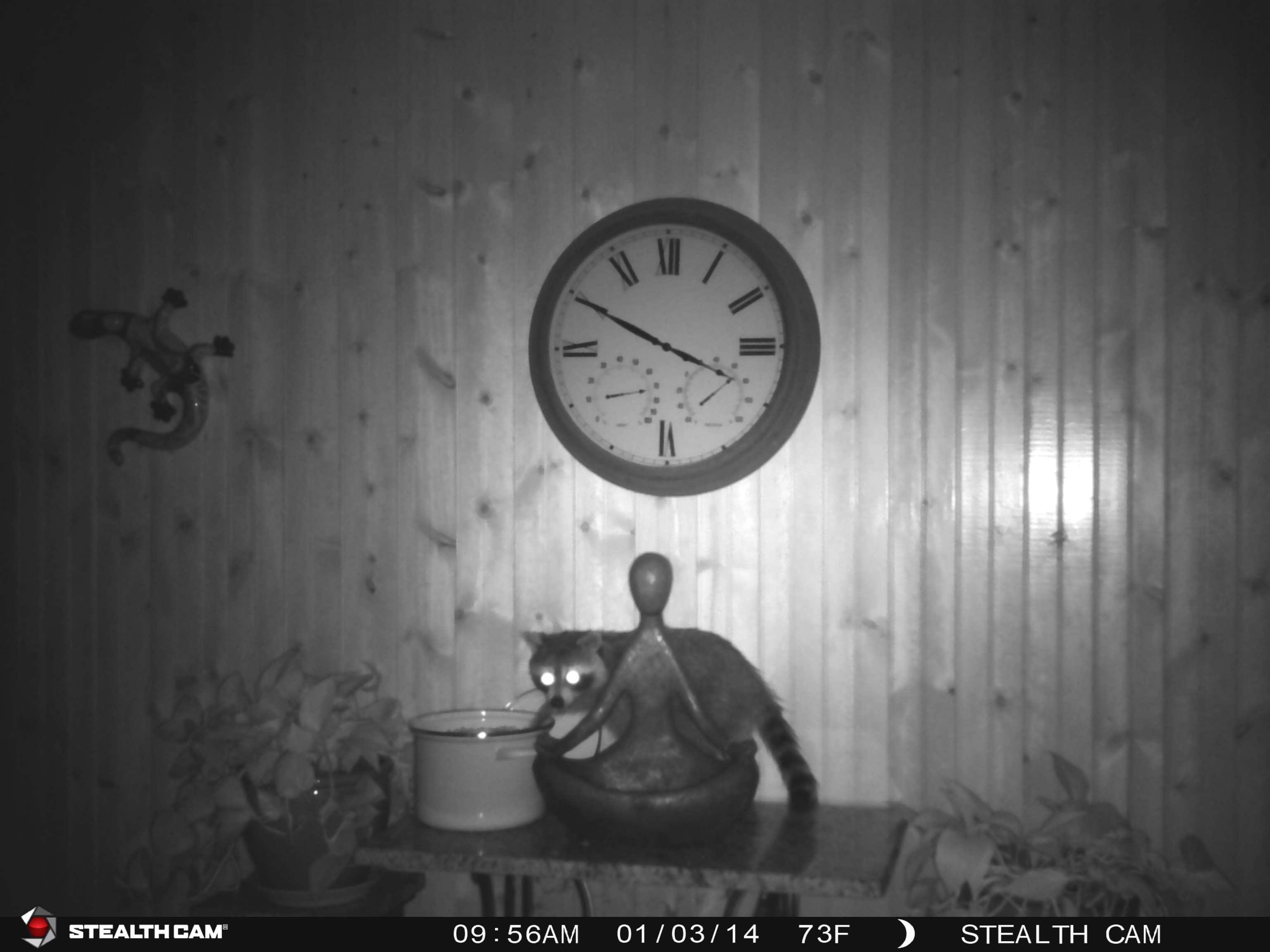 Raccoon game camera image of him stealing cat food at night