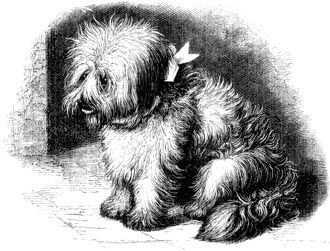 Skye Terrier puppy.