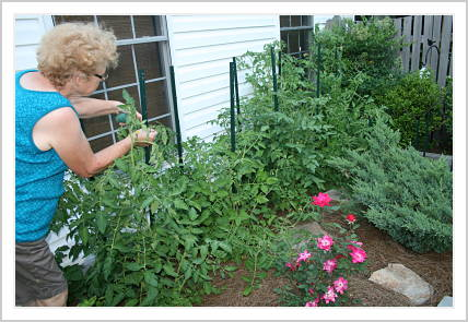 Mom staking tomato plants in her kitchen garden