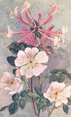 Honeysuckle and wild rose